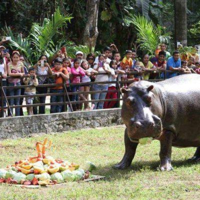 Fallece el hipopótamo 'Andrés' en el zoológico de Chetumal