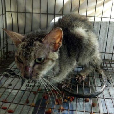 Rescatan a 60 gatos desnutridos de refugio insalubre en Cancún