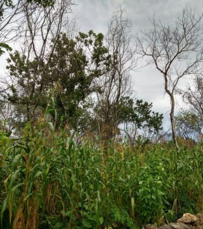 Complican lluvias cultivos de maíz en la Zona Maya