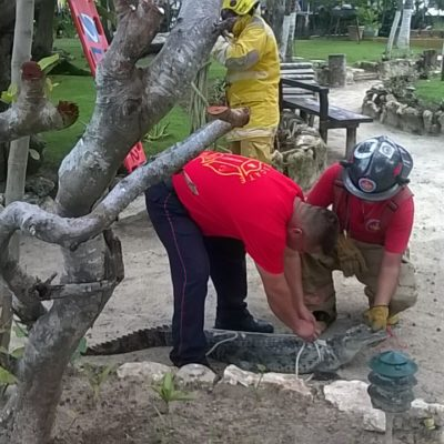 VISITANTE SIN RESERVACIÓN: Rescatan a cocodrilo que se adentró en zona de hotel en Cancún