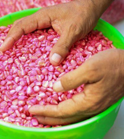 Entregan a productores semillas de hortaliza y plantas de caoba y cedro en Puerto Morelos y las comunidades de Leona Vicario y Central Vallarta
