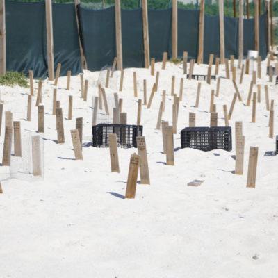 ¿ESTÁ EN PELIGRO EL NIDO A LADO DE PROYECTO DE HOTEL?: Corral debe proteger a las tortugas junto a Playa Delfines, dicen   VIDEO