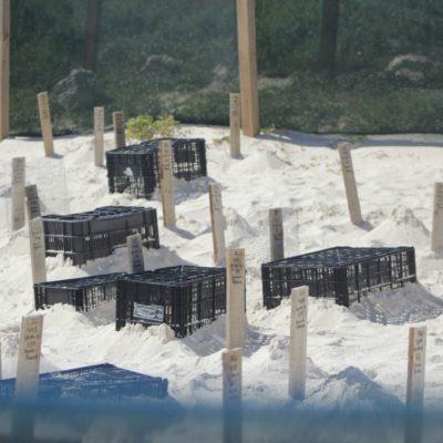 """Por """"causas climáticas y biológicas"""", la mortandad de tortugas recién nacidas en playa Delfines, determina Profepa"""
