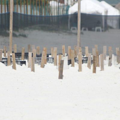 Confirman reubicación de corral de tortugas junto al proyecto de hotel Gran Solaris en Cancún