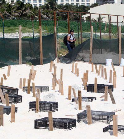 SENTENCIAN REPRODUCCIÓN DE TORTUGAS EN PLAYA DELFINES: Confirma SEDU que será la última vez que se dé anidación en predio donde se construye Gran Solaris Cancún