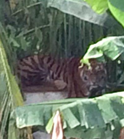 Capturan a tigre fugado en Chetumal