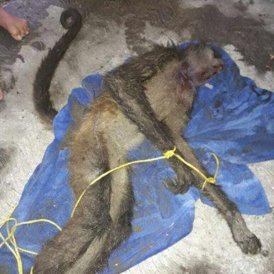 Agoniza mono araña tras ataque de pitbull en Playa del Carmen