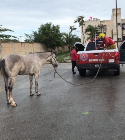 Encuentran caballo deambulando por las calles de la Región 259 de Cancún