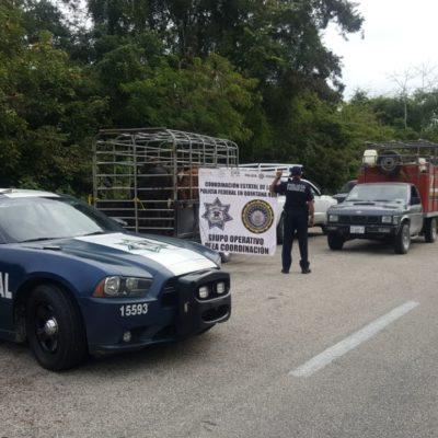 Aseguran 47 cabezas de ganado de procedencia ilícita en la carretera Chetumal-Escárcega