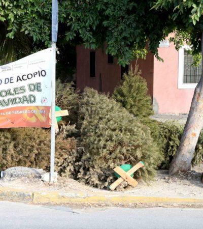 Recopilan 3 mil 200 árboles de Navidad durante campaña de acopio en Cancún