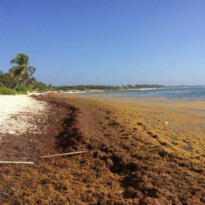 CUBRE SARGAZO PLAYAS DE TULUM: Piden hoteleros respuesta del Ayuntamiento para enfrentar recale masivo de algas