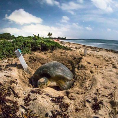 CIFRA SIN PRECEDENTE: 12 millones 649 mil crías de tortugas vuelven al mar en casi 22 años de programa de conservación