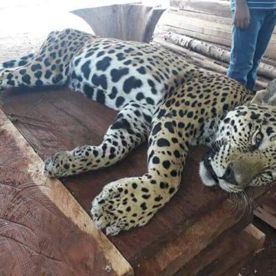 MATAN A ANIMAL EN PELIGRO DE EXTINCIÓN: Encuentran jaguar acribillado con perdigones en Tulum