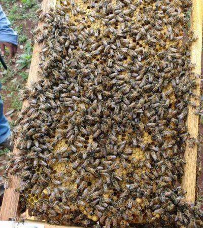'Disfrazan' miel quintanarroense de yucateca por no tener certificación de que es 'orgánica'