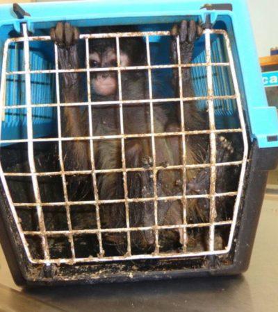 Mono araña es rescatado de restaurante en Mérida