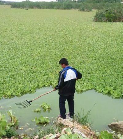 NUEVA PLAGA: El lirio acuático se extiende sin freno por las lagunas de Chetumal