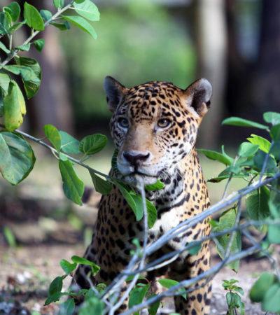 Aumenta circulación de jaguares en Quintana Roo