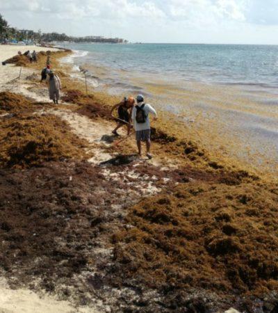 Playa del Carmen amanece anegada de sargazo