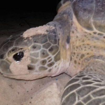 Arranca Programa de Conservación de Tortugas Marinas en Puerto Morelos