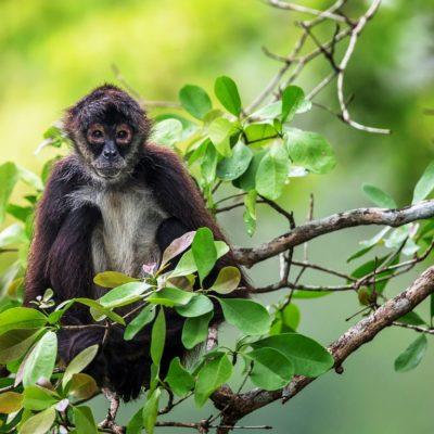 Mono araña, tratado como bebé humano, es asegurado por la Profepa en Ciudad Caucel