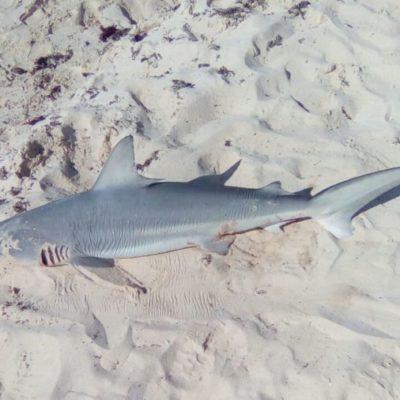 Con arponazo en la cabeza, encuentran tiburón muerto en Playacar