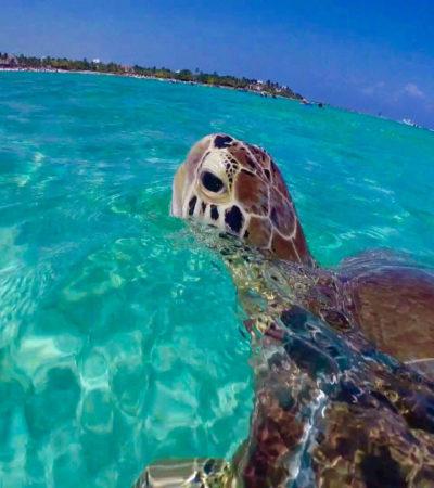 Akumal, el lugar de las tortugas enfermas y los grupúsculos necios   Por Carlos Meade