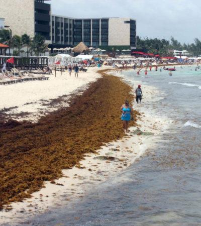 Recalan toneladas de sargazo después de las lluvias, en Playa del Carmen
