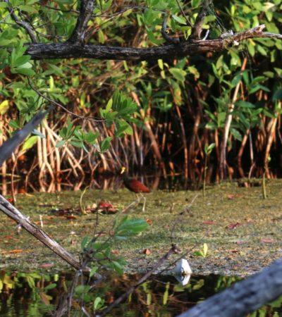 Se suman más asociaciones a la defensa del manglar en Puerto Morelos