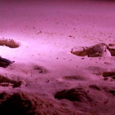 Ayuntamiento de Benito Juárez trabaja para proteger a las tortugas marinas; autoridades recomiendan a la población cuidar las zonas de anidación