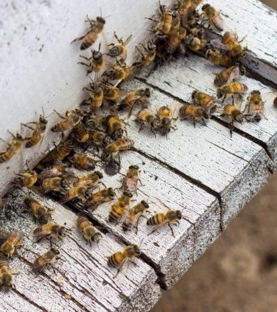 Fallece anciana por picaduras de abejas en Córdoba, Veracruz