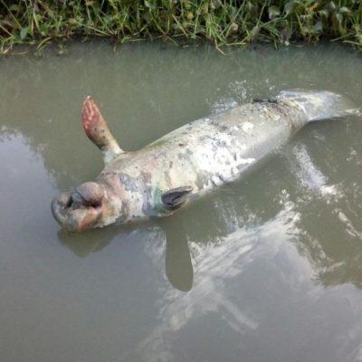 Alarma a pescadores mortandad de manatíes y peces en Macuspana; autoridades no dan explicación alguna