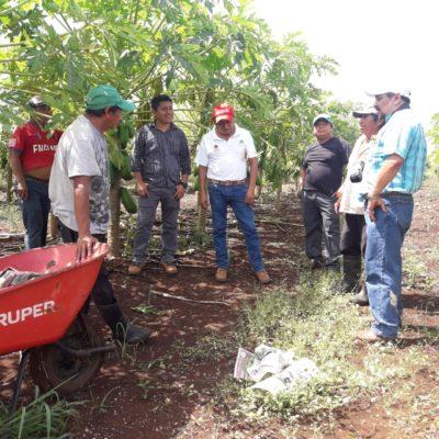 Pérdidas totales para productores de papaya en Lázaro Cárdenas