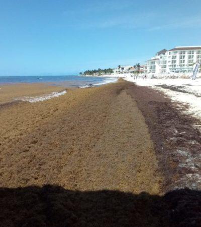 Sargazo empieza a incomodar a turistas; Ayuntamiento pide paciencia ante el recale de 100 toneladas diarias de alga