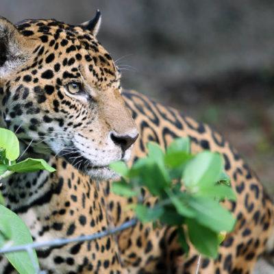 """La exposición """"Salvando a un dios"""" busca crear conciencia sobre el jaguar, especie protegida y en peligro de extinción en México"""