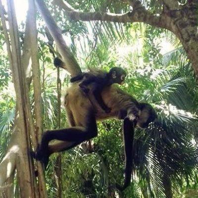 Por devastación de selva y construcciones, disminuye avistamiento de primates en Playa del Carmen