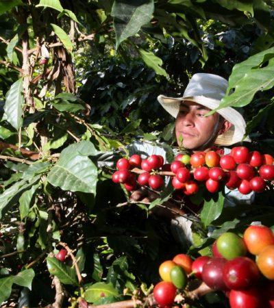 Afectarán sequía y canícula cafetales en Chiapas; cosecharán 2 toneladas por hectárea en lugar de 3