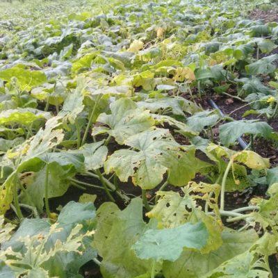 Afectan lluvias plantaciones de melón chino en Kantunilkín