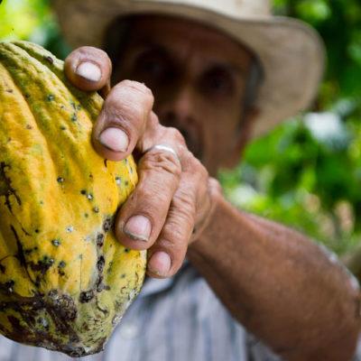 Exportarán a Francia cacao del Soconusco a pesar del decremento en su cultivo