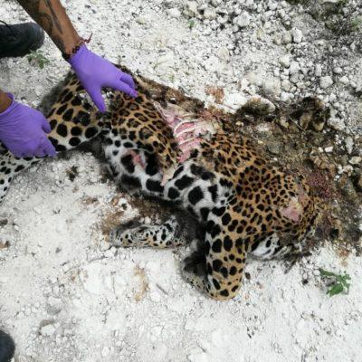 Hallan jaguar atropellado y destazado en la Ruta de los Cenotes de Puerto Morelos