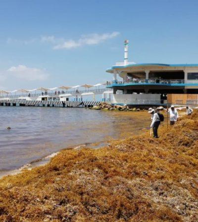 Por nuevo recale de sargazo, arriban empleados de SEMA a Playa del Carmen para contribuir a la limpieza de playas