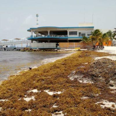Por sargazo, disminuye afluencia de bañistas en arenales de Playa del Carmen