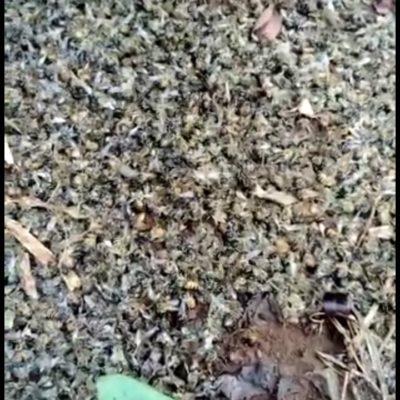 Apicultores de la Zona Maya denuncian envenenamiento de abejas; Vicefiscalía los ignora