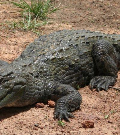 Descartan alarma por presencia de cocodrilos en costas yucatecas; común en el verano, dicen