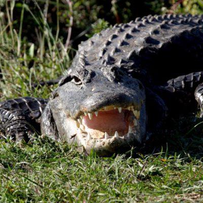 Devora cocodrilo a una mujer que lo enfrentó para salvar a su perro en Carolina del Sur