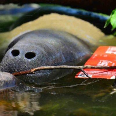 Piden declaratoria de emergencia por plomo y cadmio en manatíes muertos en ríos de Tabasco