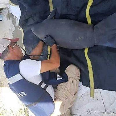 Especialistas de QR acudieron a Tabasco para salvar manatíes, luego de la muerte de 27 ejemplares en ese estado