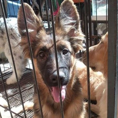 LO QUE FALTABA… LA DELINCUENCIA SE PONE 'PERRA': Denuncian plagio de canes de raza; delincuentes exigen rescate o amenazan con matarlos