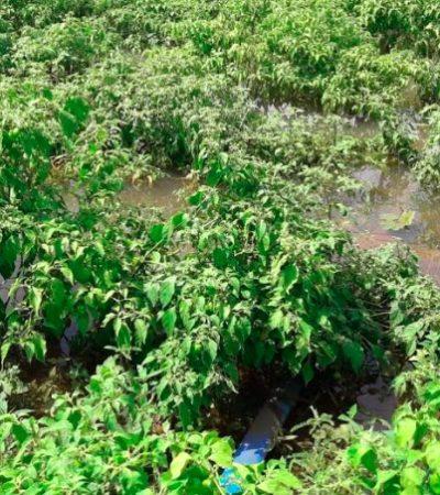 Cultivos siniestrados en siete municipios no están asegurados