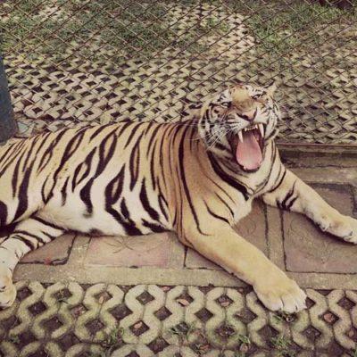 Ataca tigre a menor que quiso tomarse una 'selfie' dentro de la jaula y al padre que entró a sacarlo
