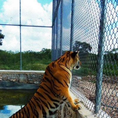 Ataque de tigre revela que dueño tenía orden de reaprehensión por homicidio en Nuevo León